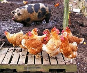 В Ростовской области растет производство птицы
