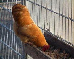 Корма для несушек и других домашних птиц