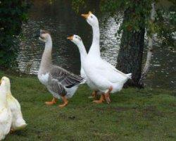 Интересные факты про домашних гусей