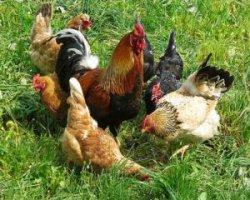 Любопытные сведения о курицах и петухах