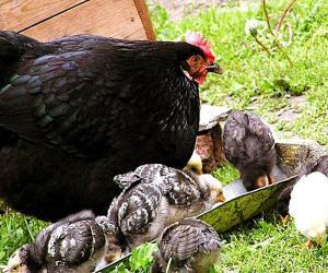 Интересные факты про цыплят